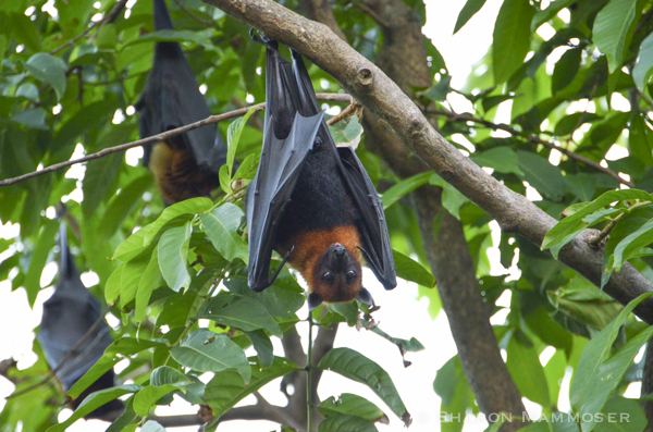 A flying fox in Thailand
