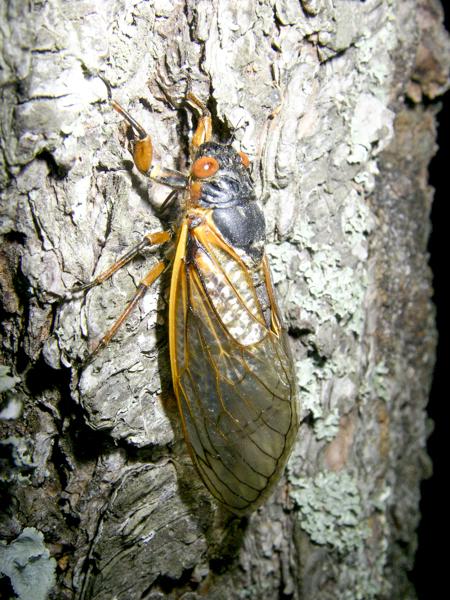 cicada2-0743