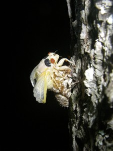 cicada3-0746