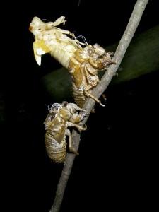 cicada3-0755