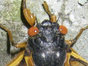 cicada3-0760