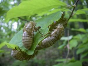 cicada3-0772
