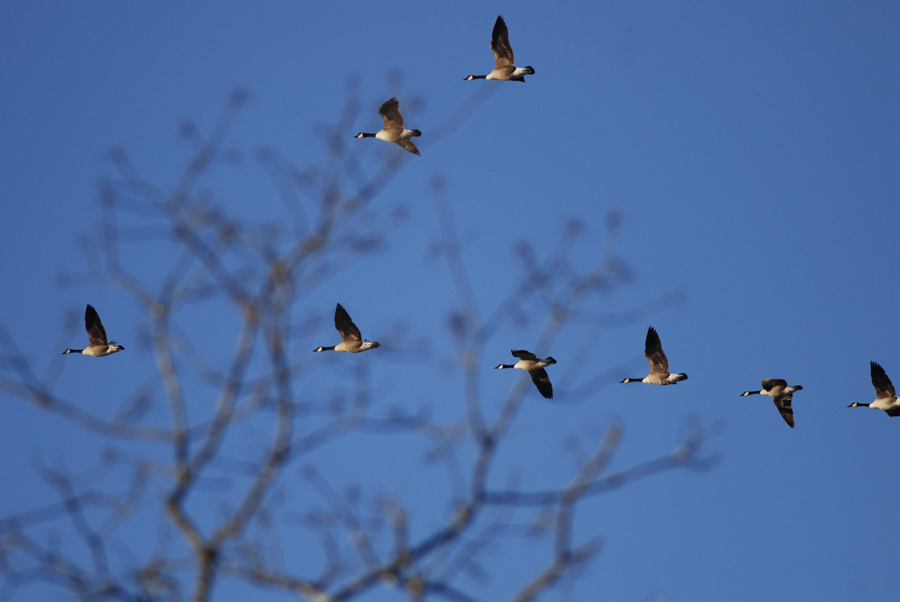 geese-0186