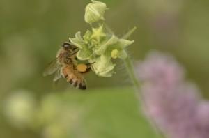 honeybee-5172