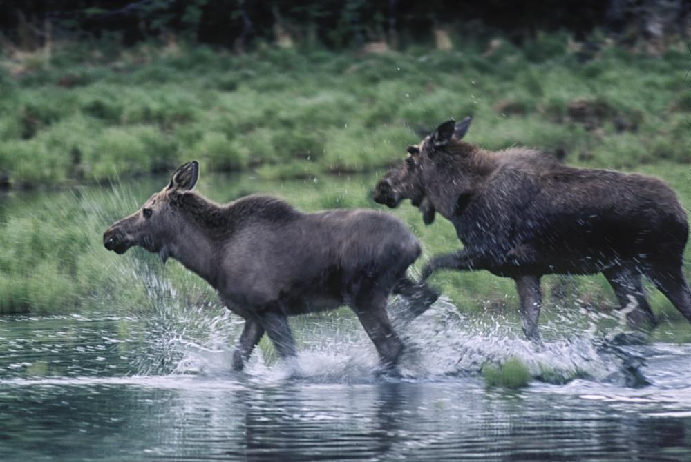 moose-