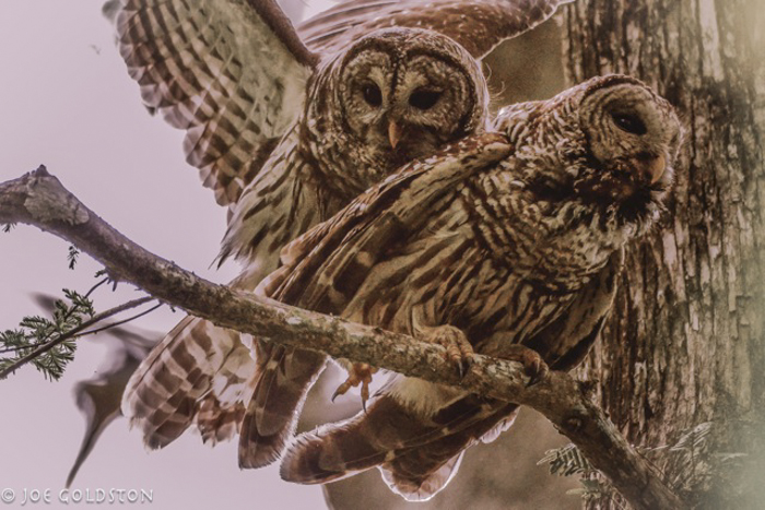 Barred Owls Are Thought To Mate For Life And Produce One Brood Per Year