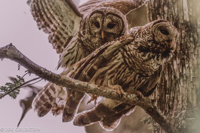 joe owl-