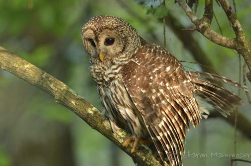 owl-2196