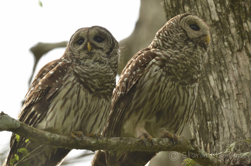 Contrary To Popular Belief Barred Owls And Other Cannot Turn Their Heads All The Way Around This Is A Myth However Since They Have 14 Vertebra In