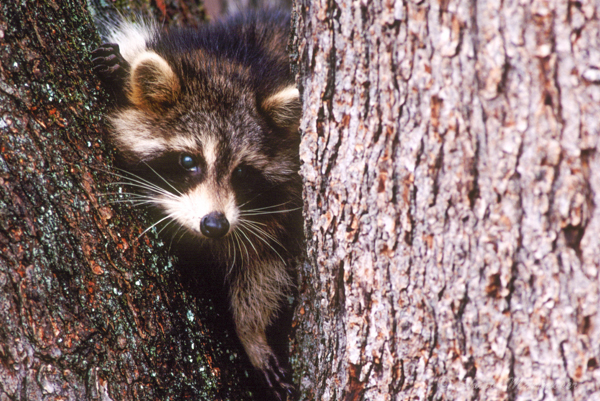 Do Raccoons Really Wash Their Food