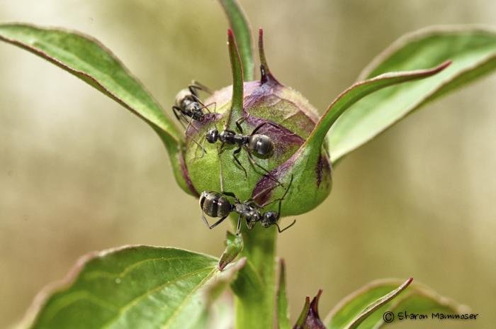 ant--2