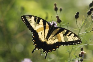 Male Tiger Swallowtail