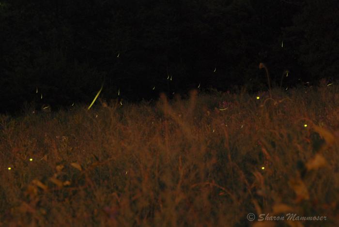 fireflies-0875