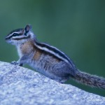 "A chipmunk is a ""true hibernator."""