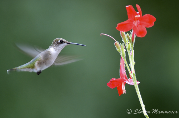 An immature male ruby-throated hummingbird.