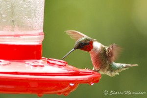 Hummingbirds will visit special feeders.