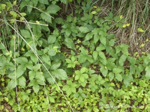 poison ivy with virginia creeper