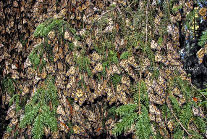milkweed-