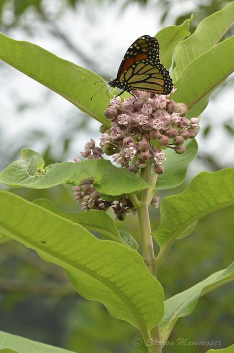 milkweed-8323