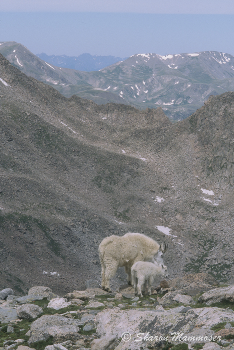 Mountain Goats have HORNS