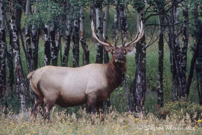 Elk have ANTLERS