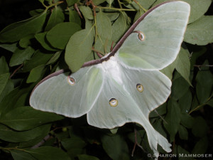 A lovely luna moth