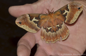 A Tulip tree moth