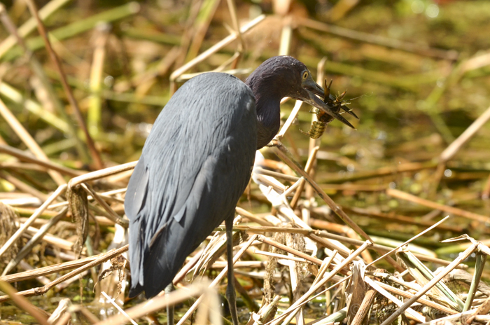 This little blue heron snagged a crayfish!
