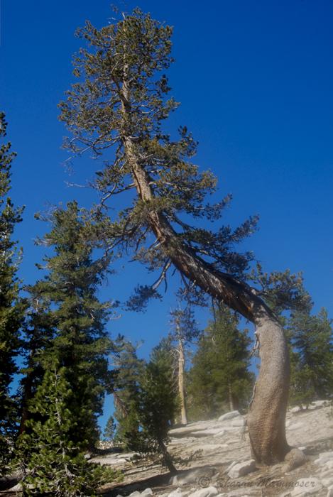 croooked tree-1112
