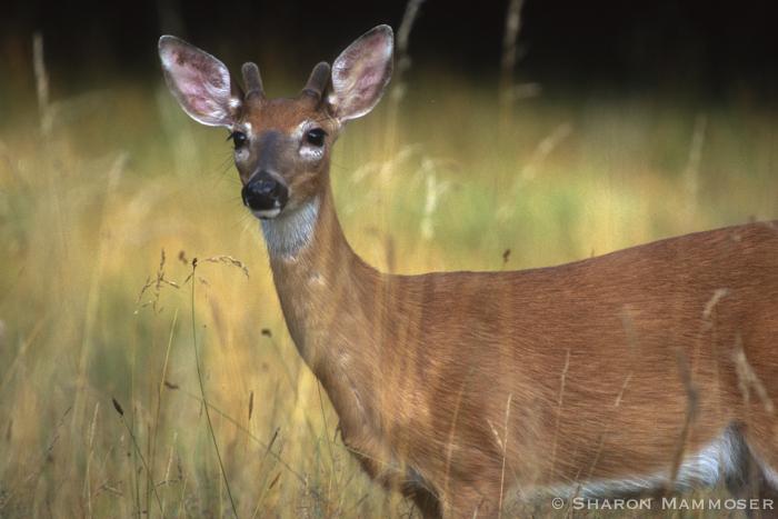 deer-0028