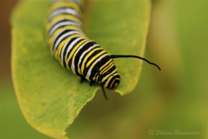 A Monarch caterpillar feeds ONLY on Milkweed