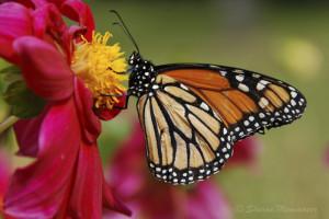 monarch-0493