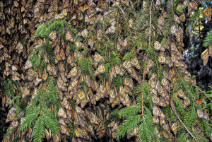 The Monarchs in Mexico overwinter on tree branches