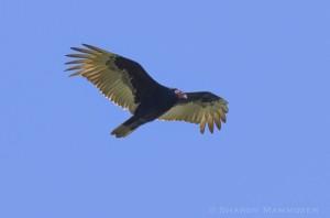 vulture-9205