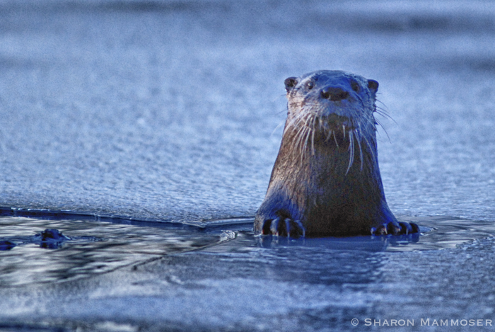 An otter i photographed when I lived in NY