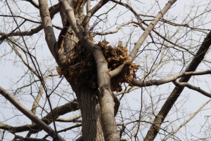A squirrel nest high in the tree