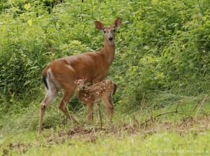deer-0582