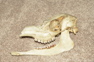 A deer skull