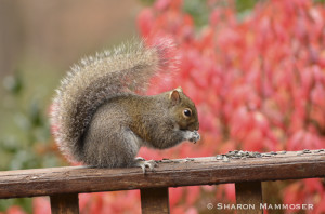 squirrel-6539