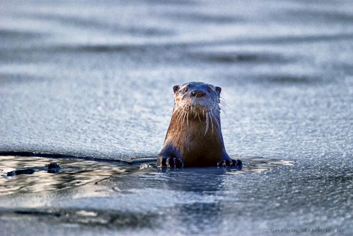 Mammoser otter2-2