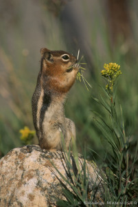 Like chipmunks, ground squirrels also hibernate.