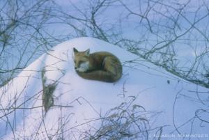 fox-066