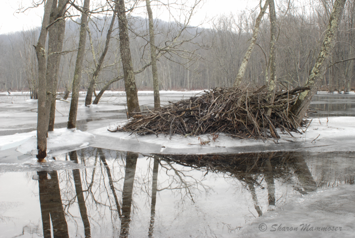 A beaver lodge might become an otter den