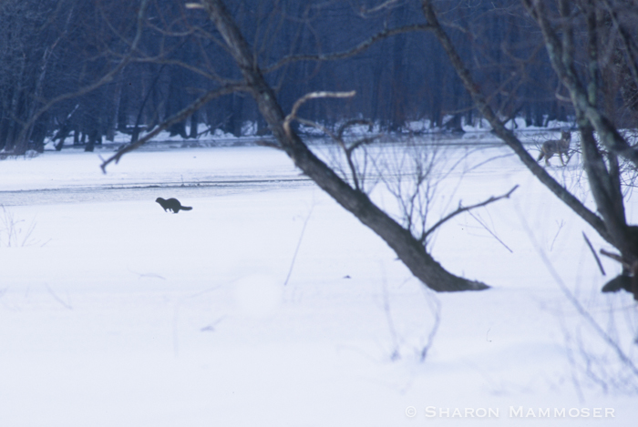 One day when I was watching a mink when a coyote wandered out onto the ice. (Look on the right side_