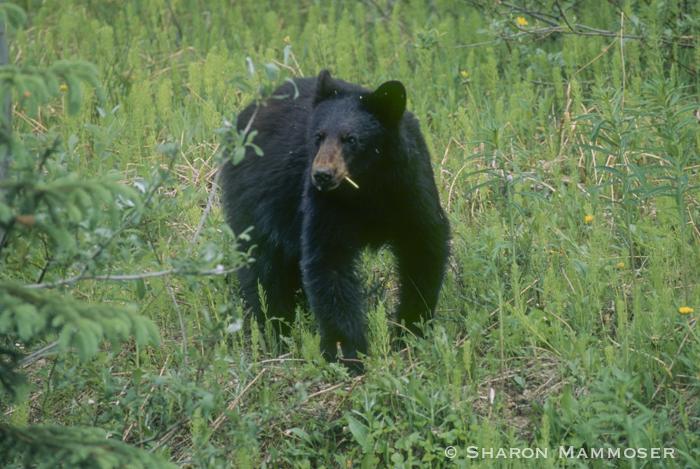 Black bear have 42 teeth