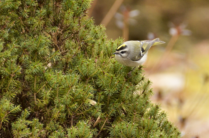 Kinglets never stop moving!