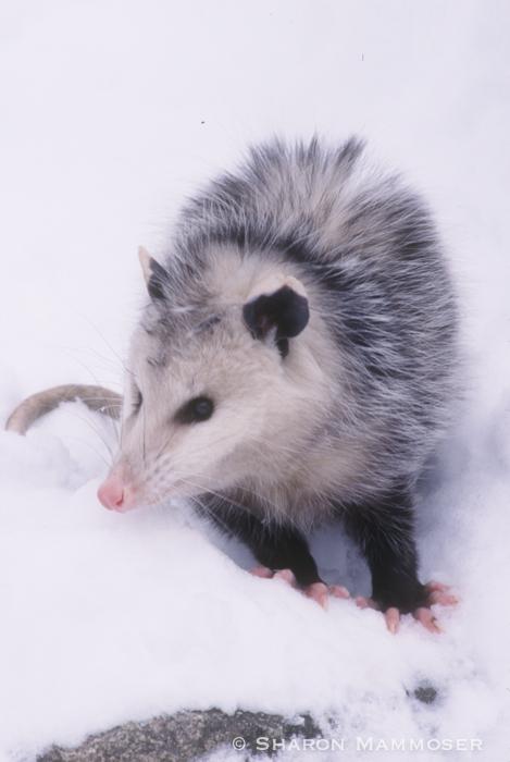 opossum-040