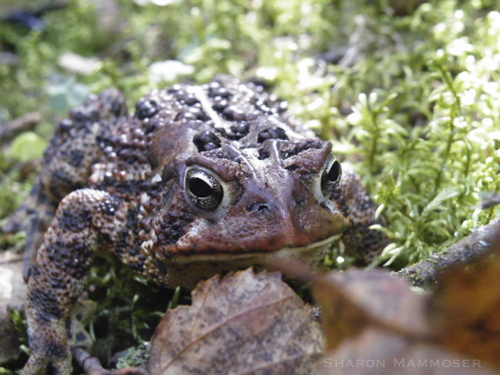 Touching a toad will NOT give you warts!