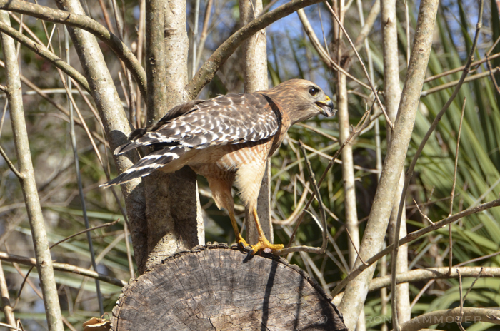 Red-shouldered Hawk on perch
