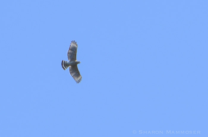 A Red-shouldered Hawk in flight